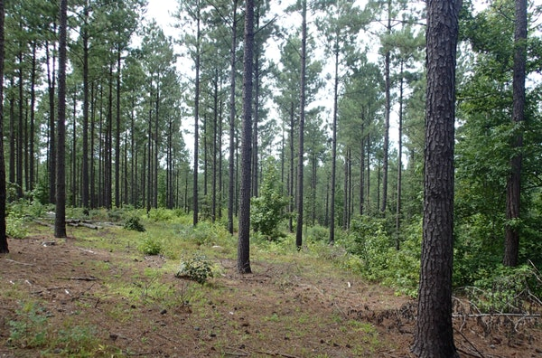 Loblolly Pine Stand