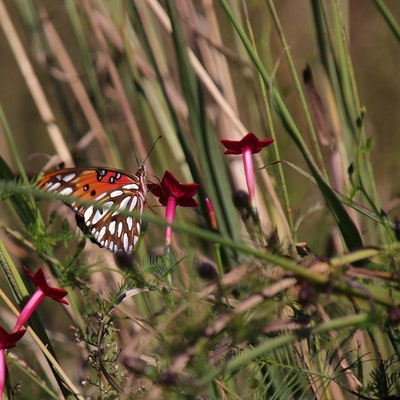 Gulf fritillary butterfly on some cypress vine near a tract.