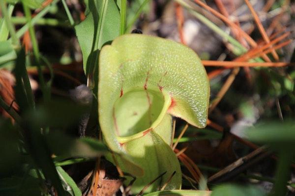 Frogs Breeches Sarracenia Purpurea