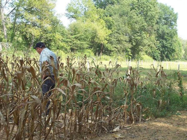 Corn Field With Swamp Chestnutt Oaks In Background 12