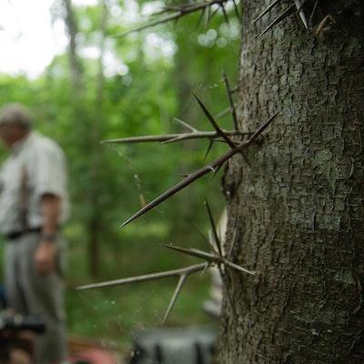 Mr. Brady tells us the history of the honey locust's spikes | Photo by Zach Steinhauser
