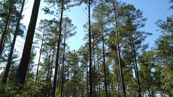 Loblollypineforest