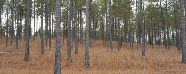 Loblolly Pine Stands on the McCrary  Property, Now Under Conservation Easement