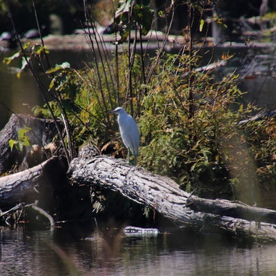 Egret in some wetland area.